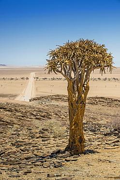 Desert-like landscape with Quiver tree (Aloe dichotoma), crossing Khomas-Hochland to the coastal desert Kries se Rus, Khomas Region, Namibia, Africa