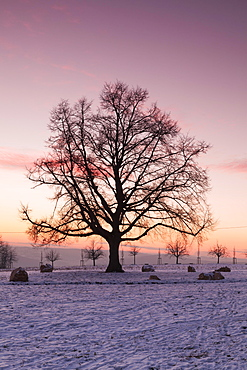 Katharinen lime tree at sunset in winter, Esslingen on the Neckar, Baden-Württemberg, Germany, Europe