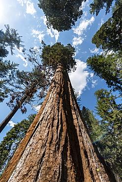 Giant Sequoia (Sequoiadendron giganteum), Tuolumne Grove, Yosemite National Park, California, Noramerika
