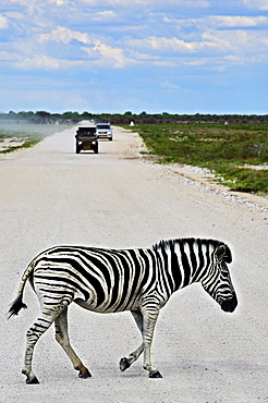Plains Zebra (Equus quagga) crossing road, Etosha National Park, Namibia, Africa