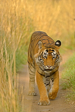 Bengal Tiger (Panthera tigris tigris) walking along path, Ranthambhore National Park, Sawai Madhopur, India, Asia