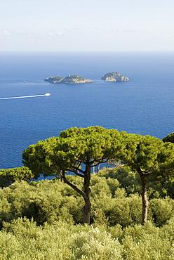 Pines growing along the Amalfi coastline, Campania, Italy, Europe