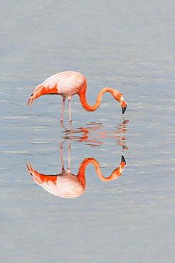 American Flamingo (Phoenicopterus ruber), Galápagos