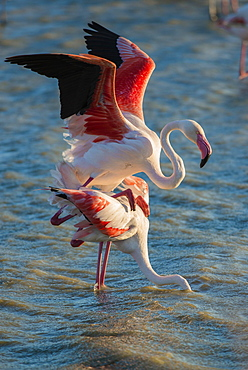 Flamingos (Phoenicopteridae), mating, Camargue, Southern France, France, Europe