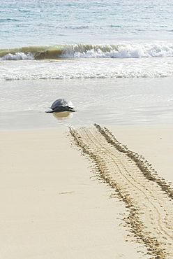 Green Sea Turtle or Pacific Green Turtle (Chelonia mydas japonica) on the way to the sea, Floreana, Galápagos Islands, Ecuador, South America