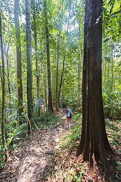 Hiker, young woman walking along a trail in the jungle, Kuala Tahan, Taman Negara National Park, Malaysia, Asia