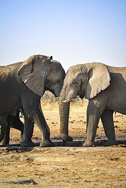 Two elephants playfully fighting, African Elephant (Loxodonta africana), Etosha National Park, Tsumcor waterhole, Namibia, Africa