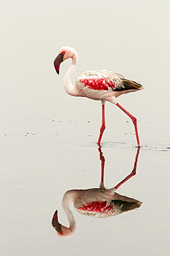 Lesser flamingo (Phoeniconaias minor), striding in the water, mirror image, Walvis Bay, Namibia, Africa