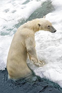 Polar Bear (Ursus maritimus) getting out of water, Svalbard Archipelago, Norway, Europe