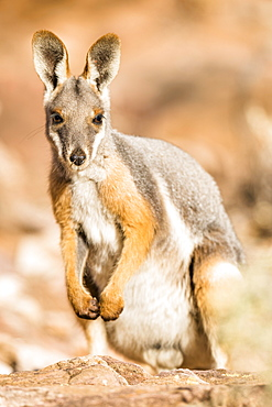 Yellow-footed rock-wallaby (Petrogale xanthopus), sits on rock, animal portrait, South Australia, Australia, Oceania