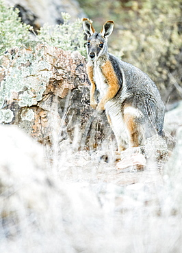 Yellow-footed rock-wallaby (Petrogale xanthopus), South Australia, Australia, Oceania