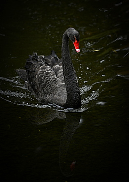 Black swan (Cygnus atratus) swimming in the water, Spain, Europe
