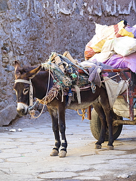 Pack donkey with a laden cart in the Medina, Marrakech, Marrakech-Tensift-Al Haouz, Morocco, Africa