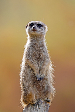Meerkat (Suricata suricatta) stands guard, Germany, Europe