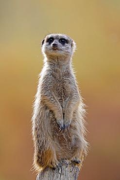 Meerkat (Suricata suricatta) stands guard, Germany, Europe