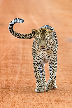 Leopard (Panthera pardus) stands on sand track, Tsavo West National Park, Kenya, Africa