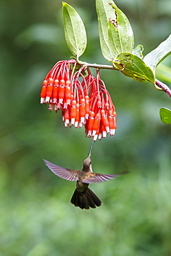 Bronzy Inca (Coeligena coeligena) on red blossom, flying, rainforest, cloud forest, northern Ecuador, Ecuador, South America