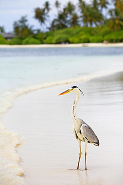 Grey heron (Ardea cinerea) on the beach of a Maldives island, Maldives, Asia
