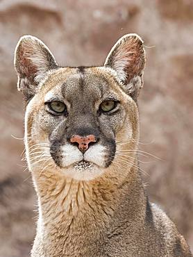 Cougar (Cougar concolor), animal portrait, captive, Andes, Peru, South America
