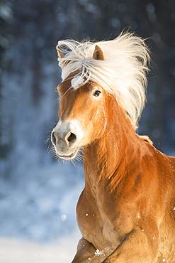 Haflinger, mare in winter, animal portrait, Tyrol, Austria, Europe