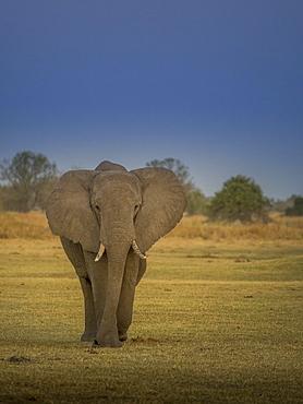 Elephant bull (Loxodonta africana), Moremi National Park, Botswana, Africa
