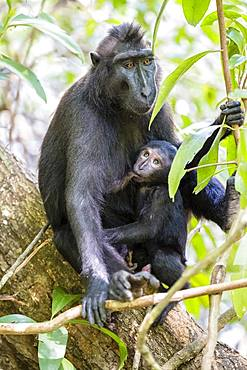 Celebes Crested Macaque (Macaca nigra), dam suckling young animal, Tangkoko National Park, Sulawesi, Indonesia, Asia