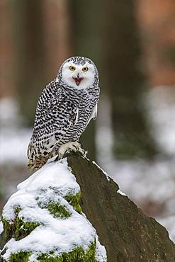 Snowy owl (Nyctea scandiaca), sitting on a snowy rock, calling, adult, captive, Czech Republic, Europe