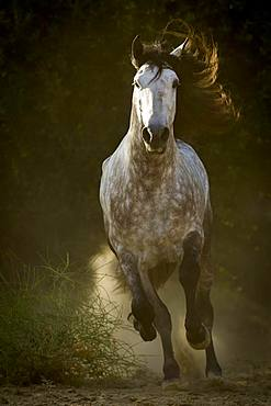 Spanish stallion, PRE, on the move, Andalusia, Spain, Europe