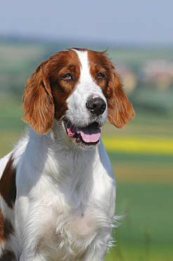 Irish Red and White Setter, animal portrait, Austria, Europe