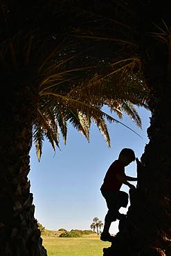 Boy, 5 years, climbs on a palm tree, silhouette, Montevideo, Uruguay, South America