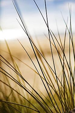 Grasses in the dunes on the beach, Portbail, Normandy, France, Europe