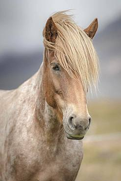 Icelandic horse (Equus islandicus) with bright mane, animal portrait, Norourland vestra, Iceland, Europe