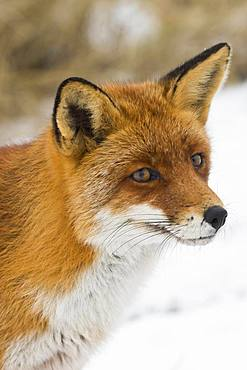 Red fox (Vulpes vulpes), animal portrait, North Holland, The Netherlands, Europe