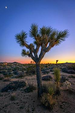 Desert Landscape, Joshua Trees (Yucca brevifolia) at sunset, White Tank Campground, Joshua Tree National Park, Desert Center, California, USA, North America