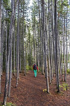 Woman walks through light coniferous forest, Banff National Park, Alberta, Canada, North America