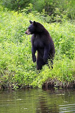 American Black Bear (Ursus americanus), young animal at the water, alert, standing upright, Pine County, Minnesota, USA, North America
