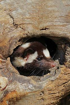 Eastern spotted skunk (Spilogale putorius) looks out of rotten trunk, adult, alert, Pine County, Minnesota, USA, North America