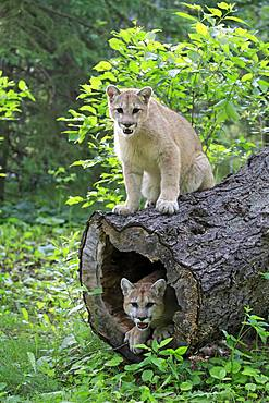 Two cougars (Puma concolor), adult, on hollowed tree trunk, Pine County, Minnesota, USA, North America