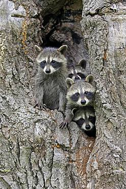 Raccoons (Procyon lotor), three young animals looking curiously from tree cave, Pine County, Minnesota, USA, North America