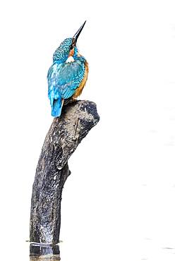 Common kingfisher (Alcedo atthis) sits on tree stump, Lower Austria, Austria, Europe