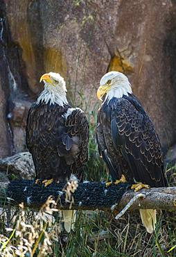 Two Bald eagle (Haliaeetus leucocephalus) sitting on a branch, Grizzly and Wolf Discovery Center, Wildlife Park, Wyoming, USA, North America