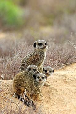 Meerkat (Suricata suricatta), adult with three young animals, Oudtshoorn, Western Cape, South Africa, Africa