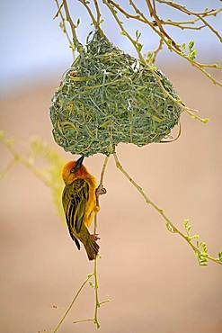 Cape Weaver (Ploceus capensis), adult male, hangs on nest, courtshiping, Little Karoo, Western Cape, South Africa, Africa