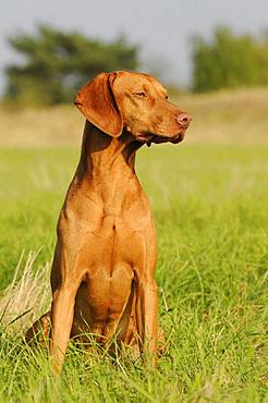 Magyar Vizsla, short hair, male, sits in meadow, Austria, Europe