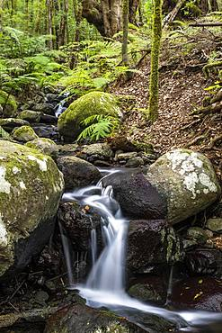 Creek flows through Cloud Forest, Garajonay National Park, La Gomera, Canary Islands, Spain, Europe