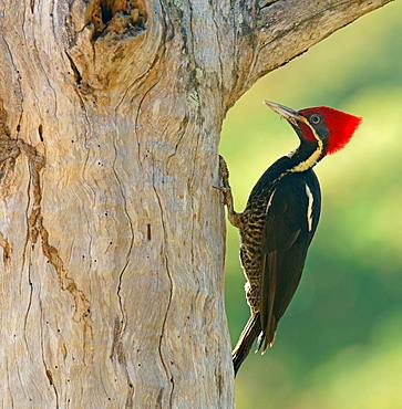 Lineated woodpecker (Dryocopus lineatus) on tree trunk, Costa Rica, Central America