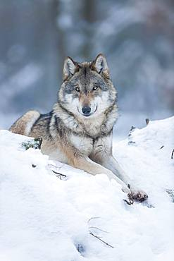Gray wolf (Canis lupus), wolf lying in the snow, captive, Bavaria, Germany, Europe