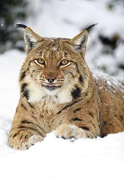 Eurasian lynx (lynx lynx), lies in the snow, animal portrait, captive, Switzerland, Europe