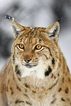 Eurasian lynx (lynx lynx), animal portrait, captive, Switzerland, Europe