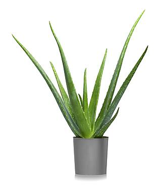 Aloe vera (Aloe vera) in flowerpot, cutout, white background, Germany, Europe